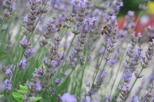 荻窪タウンセブン「あおぞらぱーく」 ラベンダーの花壇とミツバチ